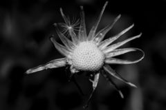 Naked head of a dandelion. Isolated object. Black and white photo royalty free stock images