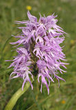 Naked Man Orchid Royalty Free Stock Images