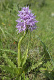 Naked Man Orchid Stock Images