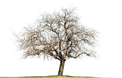 Naked maple tree isolated on white. Single naked maple tree isolated on white background stock photography