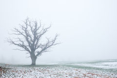 Naked oak tree in the haze Stock Images
