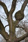 Naked oak tree Royalty Free Stock Image