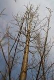 Naked Poplar Trees Stock Image