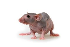 Naked rat. Decorative hairless rat on a white background Royalty Free Stock Photos