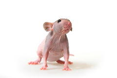 Naked rat Royalty Free Stock Photo