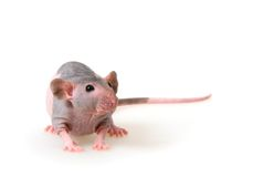 Naked rat Royalty Free Stock Images