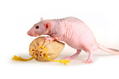 Naked rat Stock Image