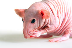 Naked rat. Decorative hairless rat on a white background Royalty Free Stock Image