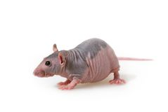 Naked rat Royalty Free Stock Photos