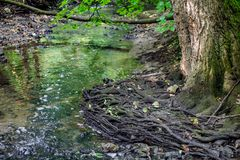 Naked roots of a tree in a forest creek stock photography