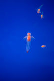 Naked Sea Butterfly or Sea Angel ( Common Clione) in Hokkaido,Japan stock photos