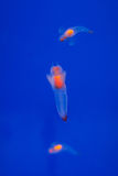Naked Sea Butterfly or Sea Angel ( Common Clione) Stock Photos