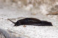 Naked slug Stock Photography