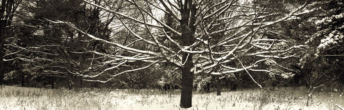 Naked snowed tree Royalty Free Stock Photos