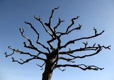Naked tree. Royalty Free Stock Photo