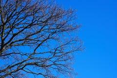 Naked tree. Tree silueth on the blue sky Royalty Free Stock Image