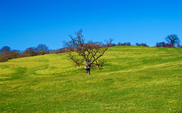 A naked tree in a beautiful green field Royalty Free Stock Photos