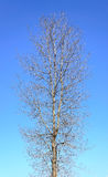Naked Tree on Blue Sky Royalty Free Stock Photography