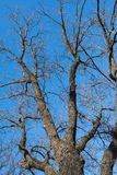 Naked tree branches against the blue sky. Look up Royalty Free Stock Photos
