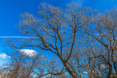 Naked tree branches Royalty Free Stock Photo