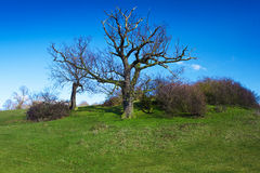 Naked tree and bushes on a green grassy hill Stock Images