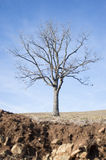 Naked tree on dry land Stock Photos