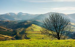 Naked tree on the grassy hill. Mountain ridge with snowy tops in the distance. fine autumn weather Stock Photos