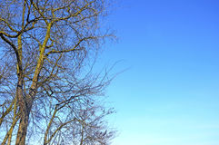 The naked tree. In the late autumn and bright blue sky Royalty Free Stock Image