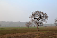 Naked tree in mist during winter time Stock Photography