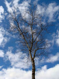 Naked tree on open sky  in winter Stock Images