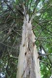 Naked Tree Reaching Upward Stock Images