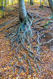 Naked tree roots in autumn forest Stock Image