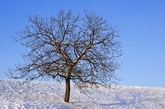 Naked tree on a sunny day Royalty Free Stock Photos