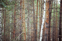 Naked tree trunks in coniferous forest Royalty Free Stock Photography