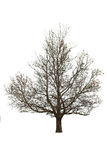 Naked tree on white Royalty Free Stock Image