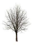 Naked tree on white Royalty Free Stock Photography