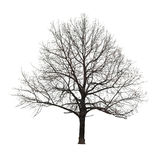 Naked tree on white Stock Photo