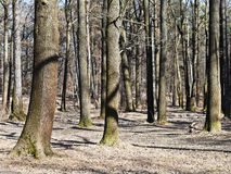 Naked trees in early spring Stock Photos