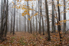 Naked Trees in Misty Fall Forest Stock Photo