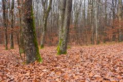 Naked trees with moss on trunks in empty forest. Lonely atmosphere of late november stock photography