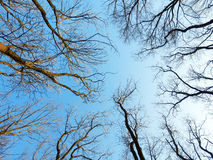 Naked winter trees from bottom view Royalty Free Stock Images