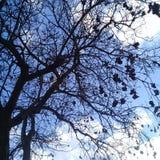 Naket träd med svart bärnsten under klar blå himmel Fotografering för Bildbyråer