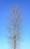 Naket träd på blå himmel Royaltyfri Fotografi