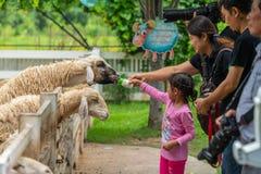 Tourists feeding milk to sheeps royalty free stock photos
