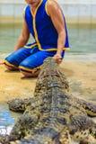 Nakhon Pathom Thailand - Maj 18, 2017: Riskabla krokodilshower på Arkivfoton