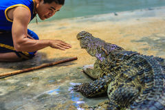 Nakhon Pathom Thailand - Maj 18, 2017: Riskabla krokodilshower på Arkivbilder