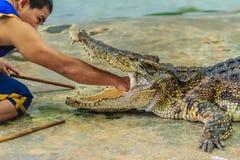 Nakhon Pathom Thailand - Maj 18, 2017: Riskabla krokodilshower på Fotografering för Bildbyråer