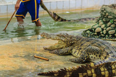 Nakhon Pathom, Thailand - May 18, 2017: Risky crocodile shows at. Samphran Crocodile Farm, one of the most impressive public crocodile shows in the world Stock Image