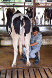 NAKHON RATCHASIMA ,THAILAND - December 6, 2014: Man milking cow Royalty Free Stock Image