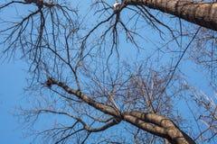 Nakna filialer av träd Arkivfoto